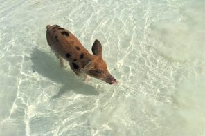 Visiting the Swimming Pigs of The Bahamas